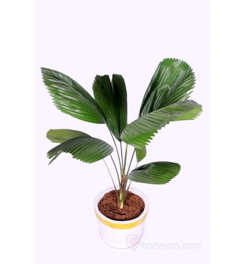 PRICHARDIA PALM INDOOR GOLDEN WHITE PLANTER